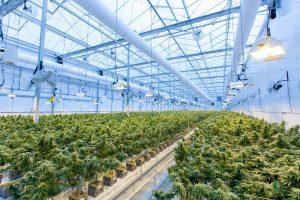 large cannabis warehouse