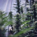 Bod Australia Company Doing Well in the Cannabis Industry