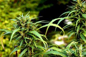 marijuana plant outdoors