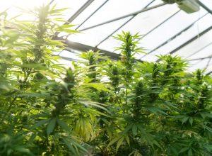 marijuana plants growing in warehouse