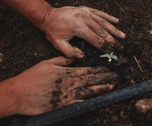patting in cannabis seedling into soil