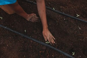 person planting cannabis seedlings in ground