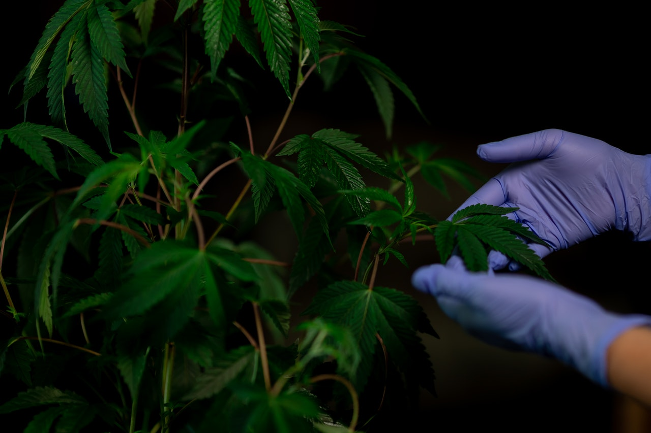 purple medical gloves touching cannabis leaves