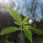single cannabis leaf growing in the sun