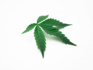 single cannabis leaf with white background