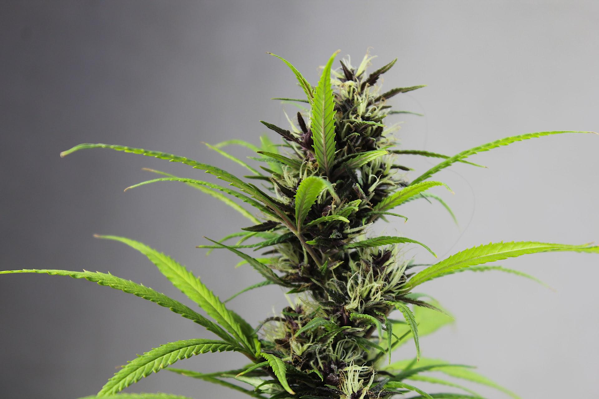 single cannabis plant against purple-grey backdrop