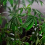 Man Charged with Over $3 million Worth of Cannabis Growing in NSW Central Coast and Sydney