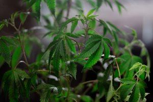 small marijuana leaves growing indoors