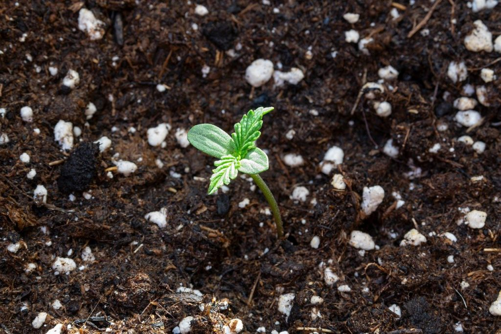 tiny cannabis seedling in soil