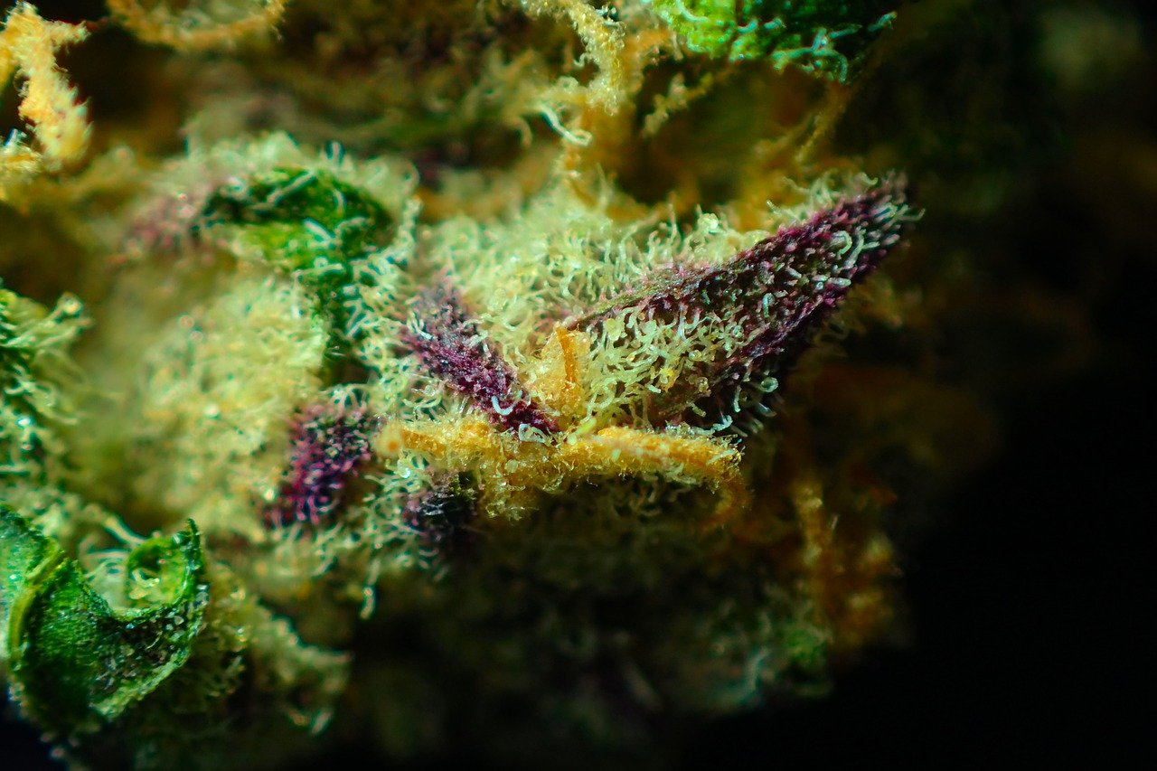 trichomes yellow, green and purple