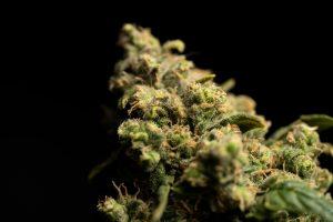 weed bud close up on black backdrop