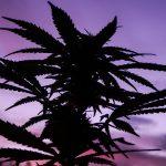 Cannabis Plant Silhouette