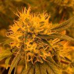 cannabis under orange grow light