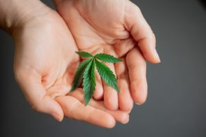 baby cannabis leaf in hands
