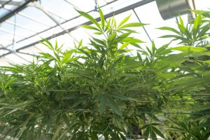 cannabis growing in greenhouse