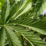 close up cannabis leaf