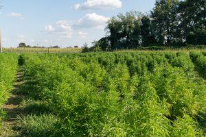 hemp plants growing in large field
