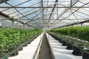 large greenhouse of cannabis plants