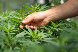 picking cannabis leaf