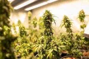tall cannabis plants growing indoor